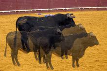 A Clonagem chegou aos ganadeiros Espanhóis