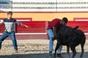 Tenta, com gado Rego Botelho - Praça Toiros Ilha Terceira
